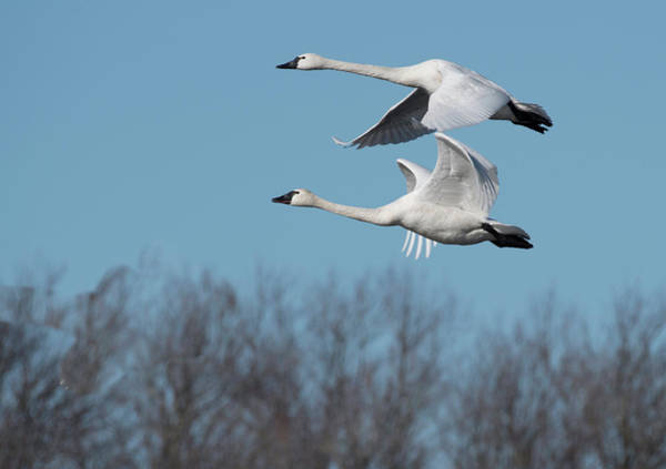 Photograph - Tundra Swan Duo by Donald Brown