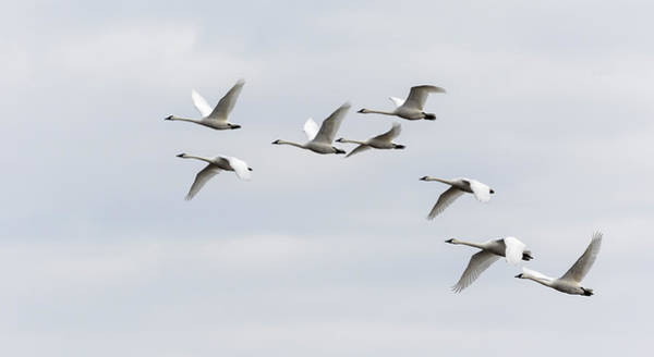 Wall Art - Photograph - Tundra Swans 2019-1 by Thomas Young