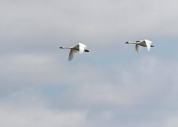 Photograph - Tundra Swans 2019-2 by Thomas Young