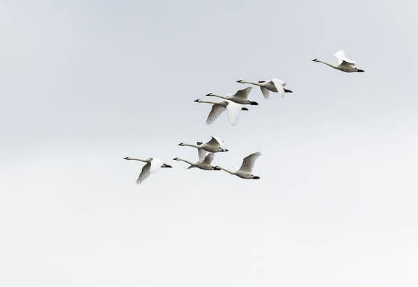 Photograph - Tundra Swans 2019-3 by Thomas Young