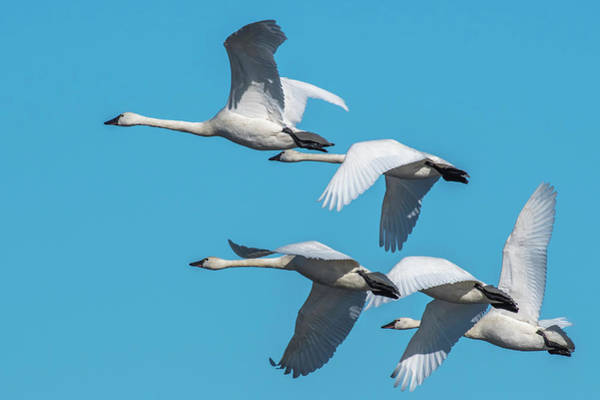 Photograph - Tundra Swans In Flight by Donald Brown