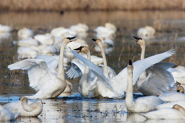 Wall Art - Photograph - Tundra Swans, Wintering Flock, Skagit by Ken Archer