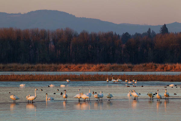 Cygnus Photograph - Tundra Swans Wintering With Other by Ken Archer