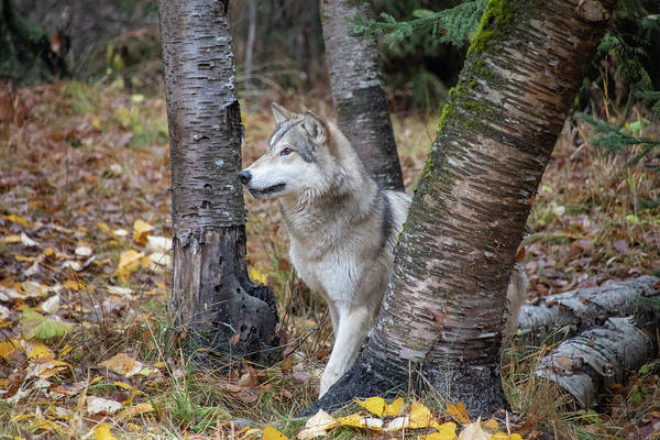 Photograph - Tundra Wolf In The Birch Trees by Teresa Wilson