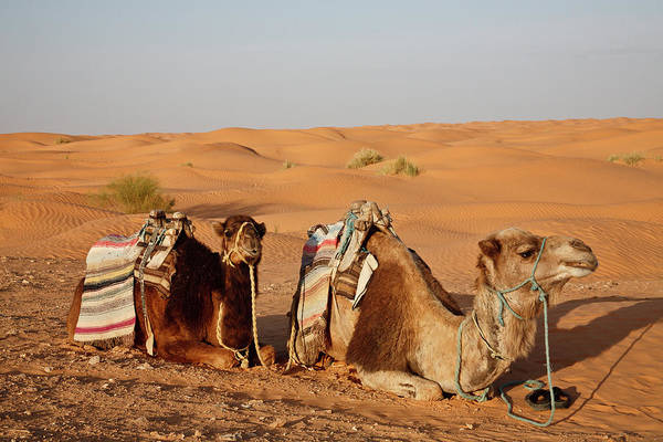 Tunisia Photograph - Tunisia Two Camels In The Sahara by Alantobey