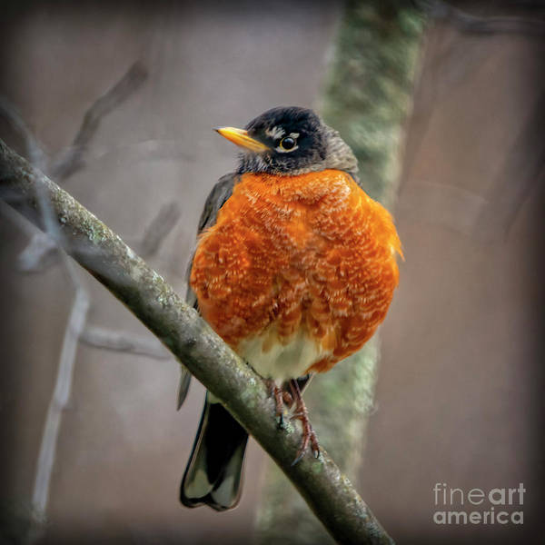 Photograph - Turdus Migratorius by Janice Pariza