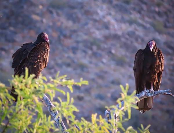 Photograph - Turkey Vulture Couple by Judy Kennedy