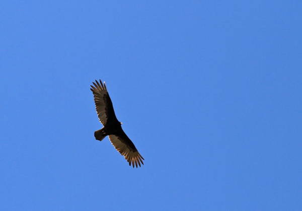 Photograph - Turkey Vulture Soaring by Ed  Riche