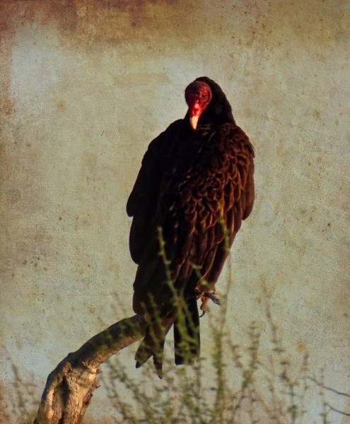 Photograph - Turkey Vulture Vintage by Judy Kennedy