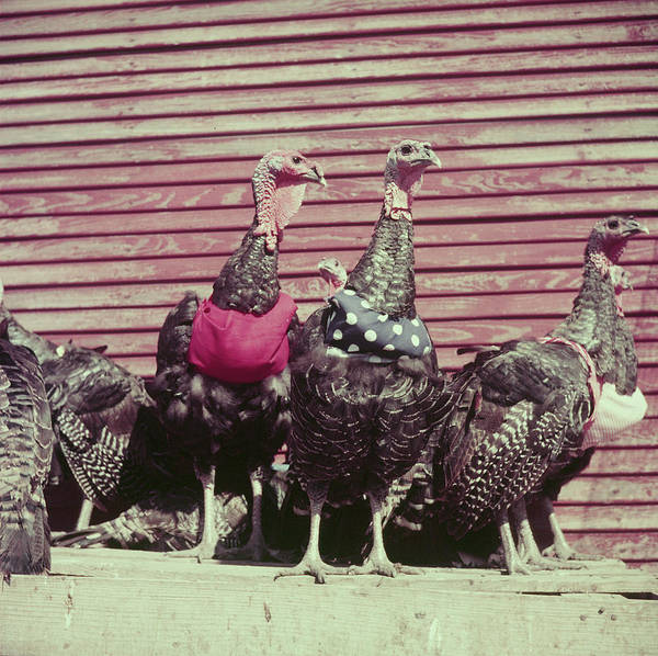 Photograph - Turkeys Wearing Halters To Prevent Pendu by John Dominis