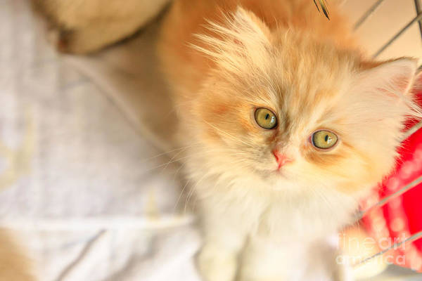 Photograph - Turkish Angora Cat Looking by Benny Marty