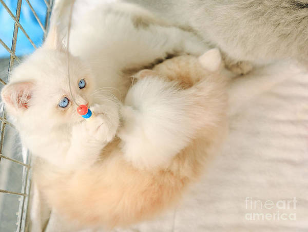 Photograph - Turkish Angora Kittens With Pet Toy by Benny Marty