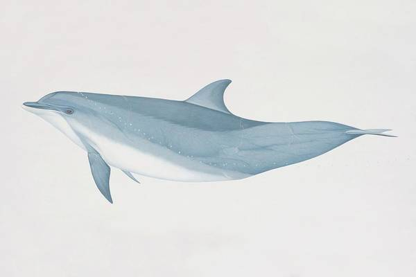 Nose Digital Art - Tursiops Truncatus, Bottlenose Dolphin by Martin Camm