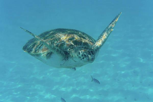 Turtle Approaching Art Print
