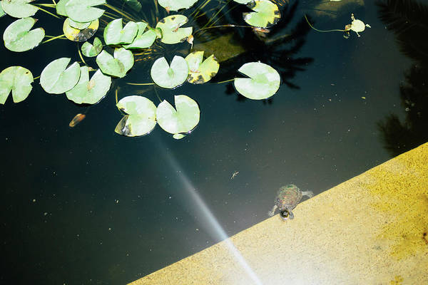 Wall Art - Photograph - Turtle In Lily Pad Pond by Pati Photography