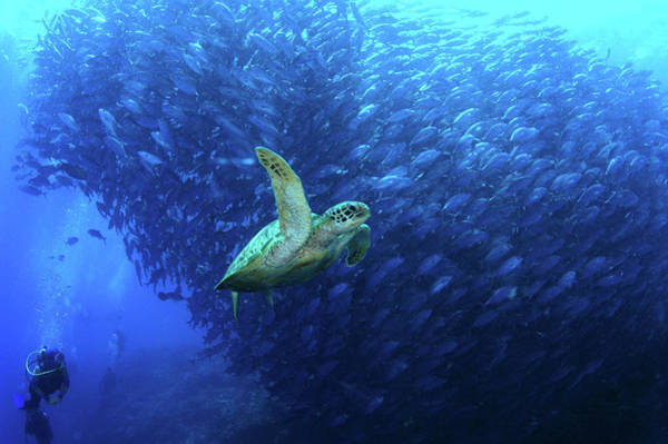 Snorkeling Photograph - Turtle Swimming By A School Of Fish In by Tim Rock