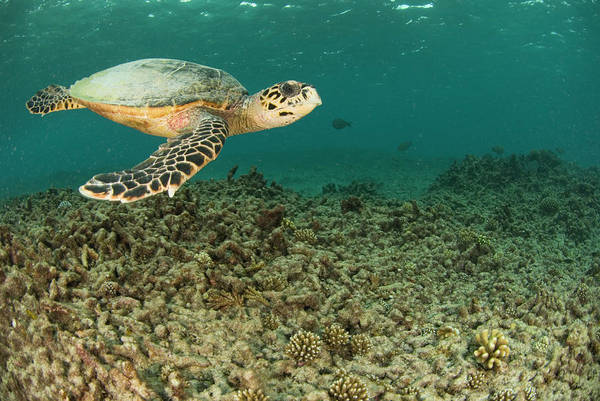 Coral Photograph - Turtle Swims Over Degraded Reef by Rainervonbrandis