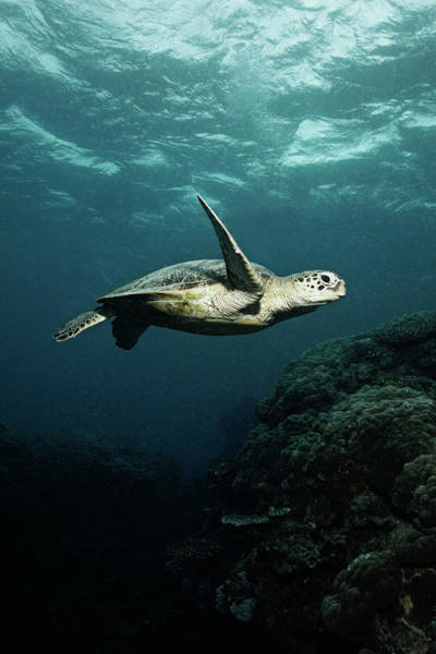 Underwater Photograph - Turtle by Underwater Graphics