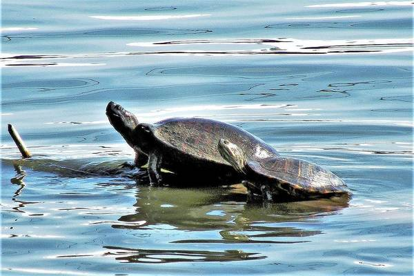 Photograph - Turtles - Mother And Child by Kim Bemis