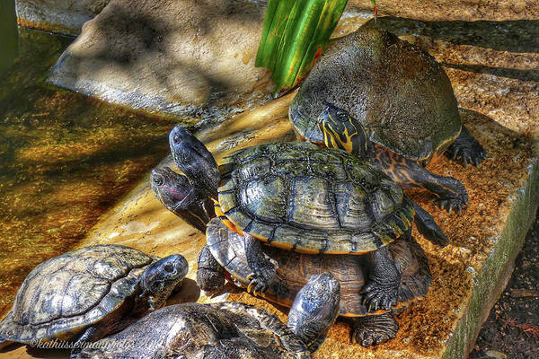 Wall Art - Photograph - Turtles Turn by Kathi Isserman