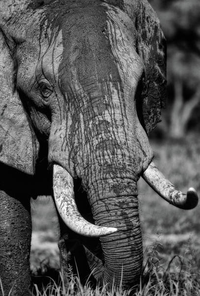 Tusk Photograph - Tusks by Niassa Lion Project