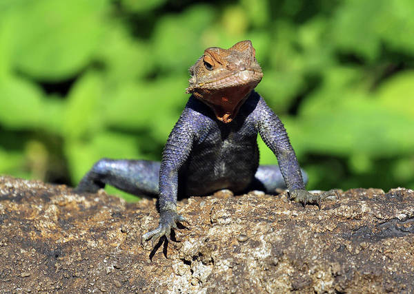 Photograph - Tuxedo Lizard by Jennifer Robin