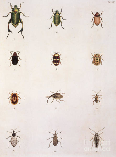 Wall Art - Drawing - Twelve Beetles by Oppel