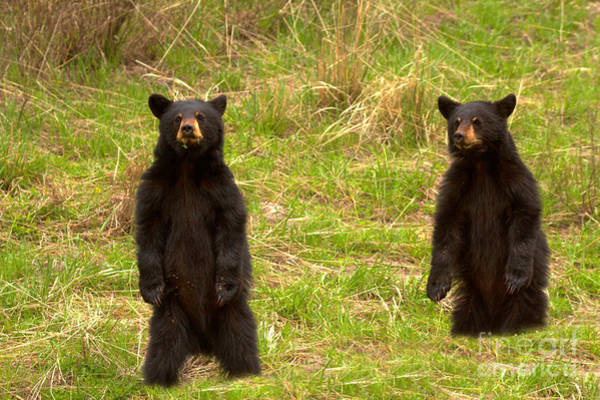 Photograph - Twin Black Bears In The Grass by Adam Jewell