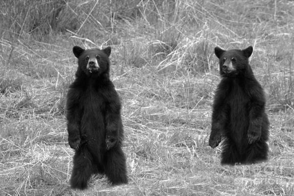 Photograph - Twin Black Bears In The Grass Black And White by Adam Jewell