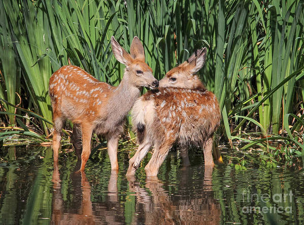 Alert Wall Art - Photograph - Twin Fawns Nuzzling Each Other In A by Annette Shaff