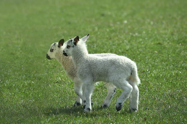 Photograph - Twin Lambs by Bill Cannon