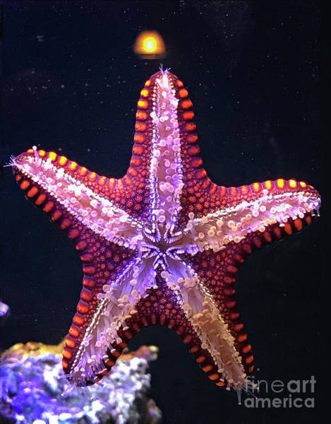 Photograph - Twinkle Twinkle Little Starfish by Karen Adams