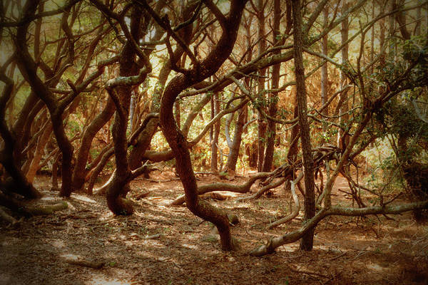 Photograph - Twisted Oaks by MM Anderson