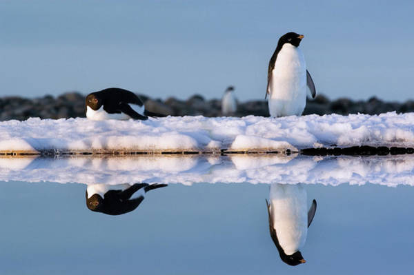 Wall Art - Photograph - Two Adelie Penguins At Shirley Island by Will Salter