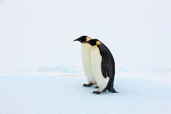 Emperor Photograph - Two Adult Emperor Penguins Standing by Thomas Kokta