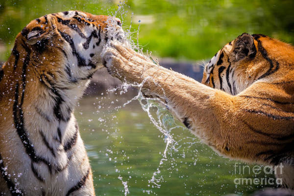 Wall Art - Photograph - Two Adult Tigers At Play In The Water by Jfunk