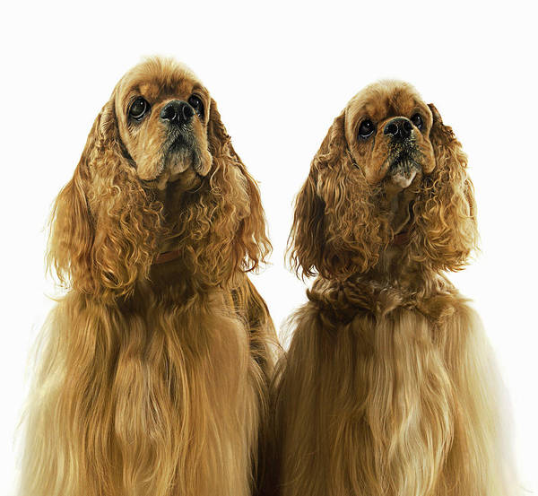 Cocker Spaniel Photograph - Two American Cocker Spaniels Side By by Gandee Vasan