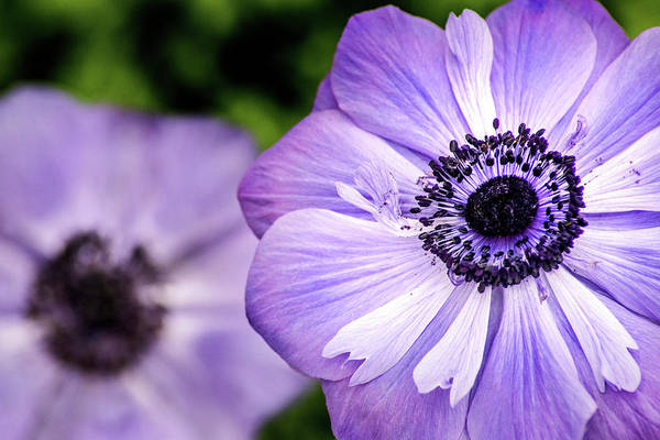 Photograph - Two Anemone by Don Johnson
