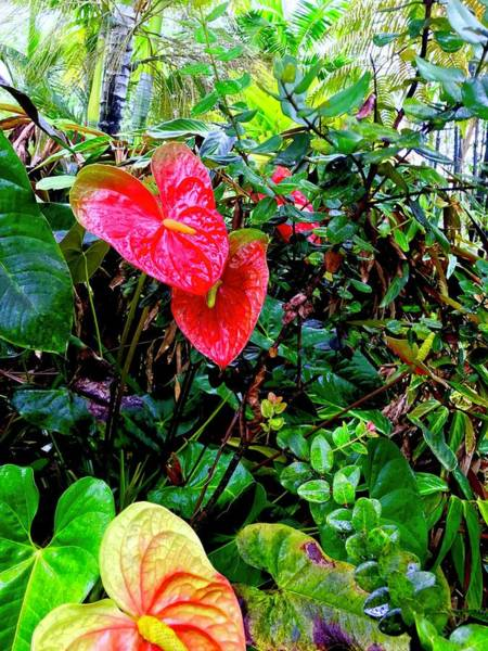 Photograph - Two Anthuriums  by Joalene Young