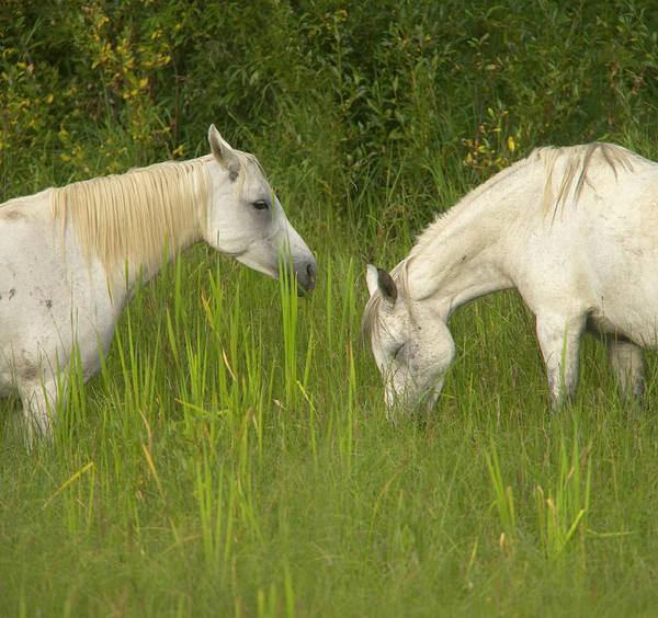 Mare Photograph - Two Arabian Mares Grazing In Tall by Eastcott Momatiuk