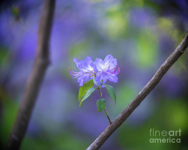 Wall Art - Photograph - Two Azaleas by Mike Reid