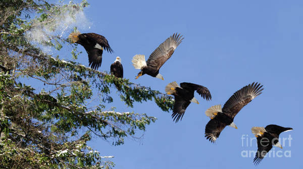 Wall Art - Photograph - Two Bald Eagles  by Bob Christopher