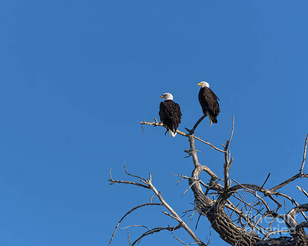 Photograph - Two Bald Eagles In A Tree by Jon Burch Photography