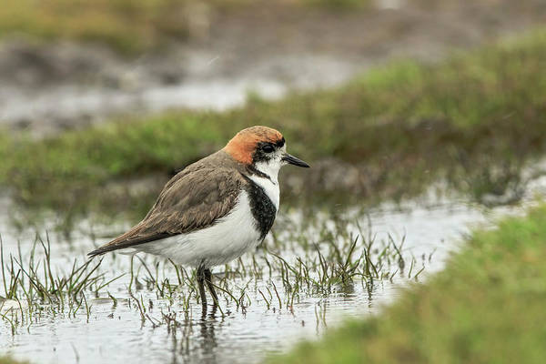 Wall Art - Photograph - Two-banded Plover Bathing, Falkland by Adam Jones