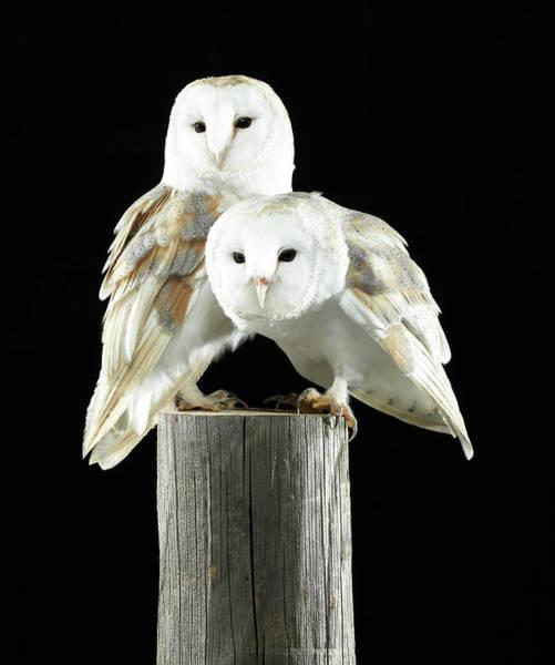 Barn Photograph - Two Barn Owls On A Wooden Log by Michael Blann