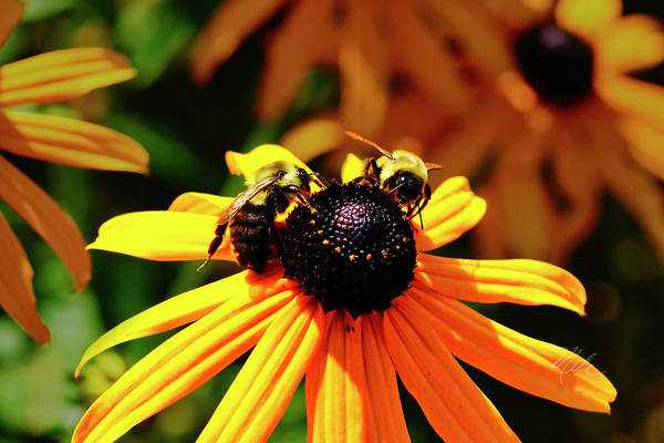 Photograph - Two Bees by Meta Gatschenberger