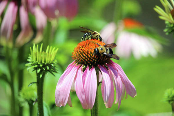 Photograph - Two Bees On Coneflower by Cynthia Guinn