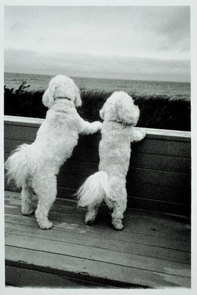 Bichon Wall Art - Photograph - Two Bichon Frise Dogs Standing On Hind by Bruce Laurance