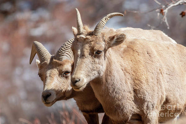 Photograph - Two Bighorn Sheep Along The Platte River by Steve Krull
