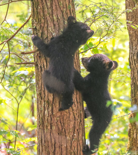 Photograph - Two Black Bear Cubs On A Tree by Dan Sproul